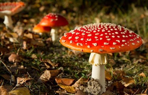 Buy Magic Mushrooms